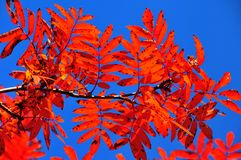 Red leaves on a mountain ash. Red leaves, the colour of fall, on a mountain ash, (sorbus sitchensis), with sunlight passing through them Stock Image