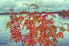 Red leaves of mountain ash covered with large drops of dew. Northern autumn. Red leaves of mountain ash covered with large drops of dew on background of lake and Stock Photo