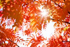 Red leaves of mountain ash in the sun Royalty Free Stock Photography