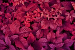 Red leaves of nature plants. Abstract autum background royalty free stock photography