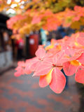 Red leaves in Oku-Nikko Japan. During Autumn under cloudy sky Stock Photography