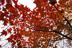Red leaves over the sky Royalty Free Stock Photography