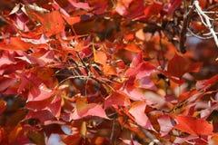 Red leaves over the sky, kau tam tso, Hong Kong Stock Image