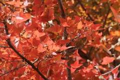 Red leaves over the sky, kau tam tso, Hong Kong Royalty Free Stock Image