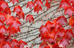 Red leaves over a wall Stock Image
