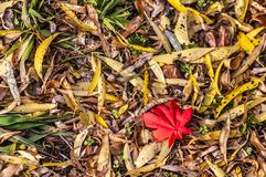 Red leaves. Photographed in Changchun, China royalty free stock photography