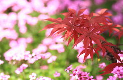 The red leaves. And pink flowers Royalty Free Stock Image