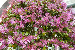 Red leaves and pink flowers of Loropetalum Chinese Fringe shrub plant during blossom season Royalty Free Stock Image