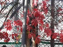 Red leaves. Plant with red leaves growing on a fence, nature royalty free stock photography