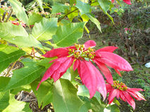 red leaves of Poinsettia Stock Photos
