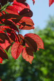Red leaves in a red leaved plum tree Royalty Free Stock Images