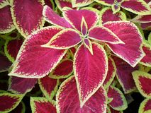 Red leaves. Garden nature summer stock photography