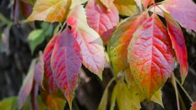 Red leaves stock video footage