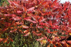 Red leaves of Rhus tree Royalty Free Stock Photo