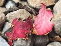Red leaves on Rocks. Two red leaves lay on top of cool rocks Royalty Free Stock Photos
