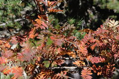 Red leaves of rowan or mountain-ash. Sorbus aucuparia Stock Images