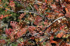 Red leaves of rowan or mountain-ash. Sorbus aucuparia Royalty Free Stock Photo