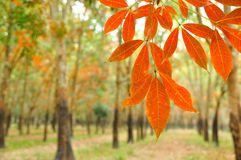 Red leaves rubber in forest Stock Photography