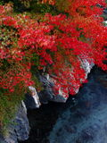Red leaves in the Shei-Pa National Park Stock Images