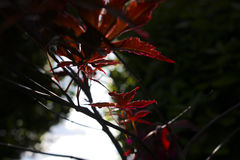 Red leaves shine against oppressive bushes Royalty Free Stock Photography