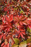 Red leaves and small blue grapes of the grapevine on a sunny day Stock Photo