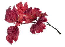 Red Leaves. A small brunch with red leaves isolated against a white background Royalty Free Stock Images