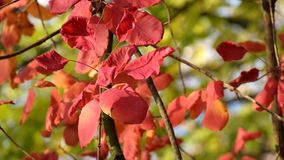 Red leaves of the smoke tree fluttered in the wind, illuminated by the rays of the autumn sun. Cotinus coggygria stock video footage