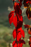 Red leaves with sparkling drop (zoom) Royalty Free Stock Photo