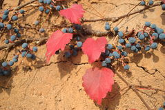 Red leaves and squashy fruits. In desert Stock Images