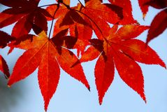 Red leaves in the sunlight. Red Japanese maple leaves with blue sky in the background royalty free stock photo