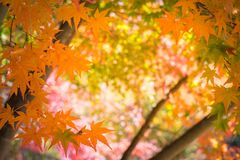 Red leaves in autumn background Royalty Free Stock Image