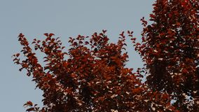 Red leaves swaying in the wind on. Tree leaves swaying in the wind on a summer day stock video footage