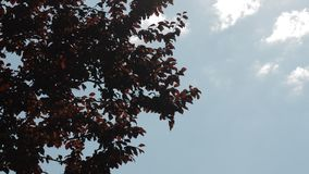 Red leaves swaying in the wind on. Tree leaves swaying in the wind on a summer day stock video