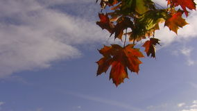 Red leaves swinging in blue sky stock footage
