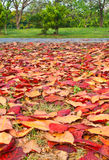 Red leaves of terminalia catappa Stock Image
