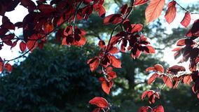 Red leaves of on a tree. Closeup footage stock video footage