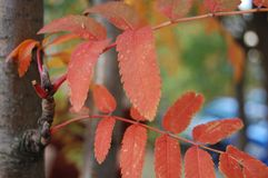 Red leaves on a tree in autumn stock photo