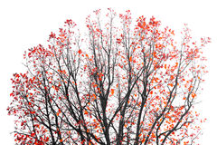 Red Leaves on Tree Branches Royalty Free Stock Image