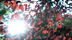 Red leaves of on a tree. Closeup stock footage