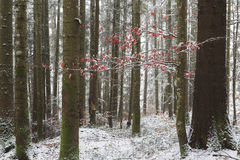 Red leaves tree in forest during winter Stock Images