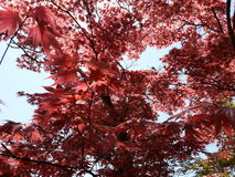 Red Leaves Tree. In Japanese Garden Stock Images