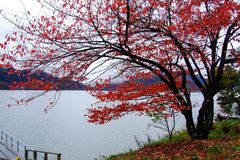 The red leaves tree at the lakeside in the autumn,. The red leaves tree at the lakeside during autumn in Japan Royalty Free Stock Photo