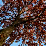 Red leaves. A tree with red leaves, last autumn days in lower bavaria, germany stock photography