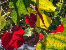 Red leaves on the tree. November in California, USA Stock Image