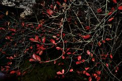 Red leaves tree. Read leaf tree branches background royalty free stock photography