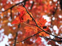 Red Leaves on Tree Stock Photo