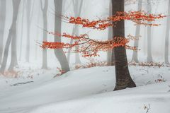 Red leaves tree in winter foggy forest. Snow covered woods stock photo