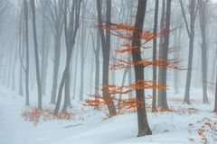 Red leaves tree in winter foggy forest. Snow covered woods royalty free stock photography
