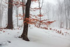 Red leaves tree in winter foggy forest. Snow covered woods stock photography