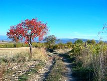 Red leaves tree. In Zupa Serbia Stock Images